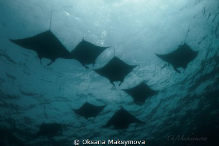 Manta rays, passing in surface in the Sulwaesi Sea near S... by Oksana Maksymova