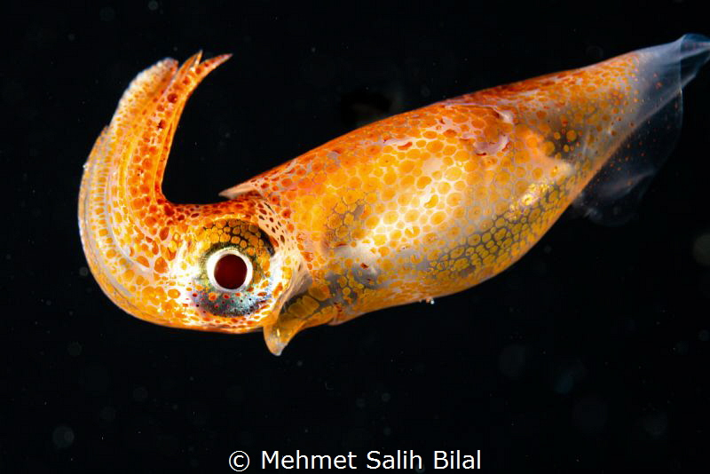 Colorful squid at blackwater dive by Mehmet Salih Bilal