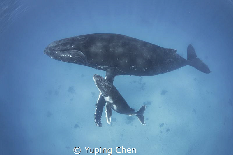 Mom and Her Calf by Yuping Chen