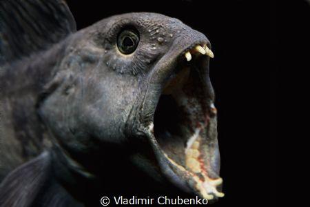 lancet fish by Vladimir Chubenko