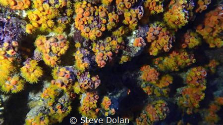 A wall covered with cup corals. Found inside a cave at No... by Steve Dolan