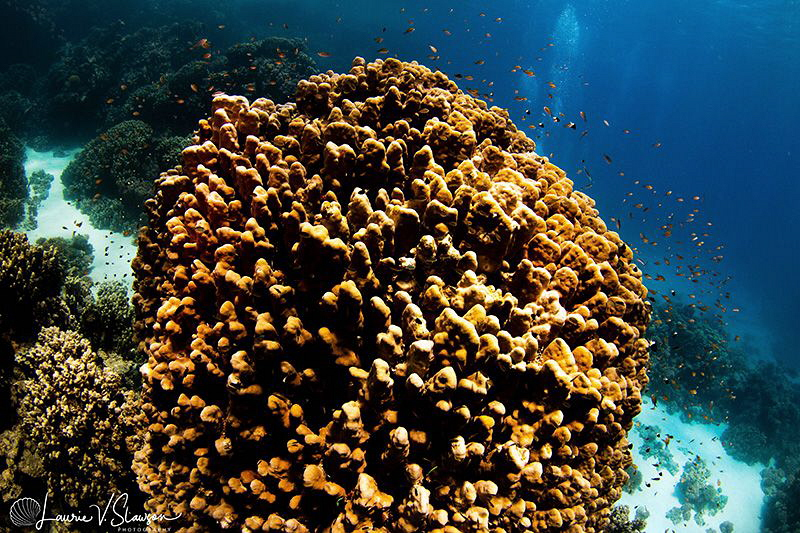 Reefscape at Abu Dabab, Red Sea, Egypt/Photographed with ... by Laurie Slawson