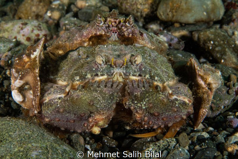 Mating crabs. They looks like stones at the sea bed. by Mehmet Salih Bilal