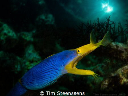 Blue ribbon eel - Double exposure in camera by Tim Steenssens