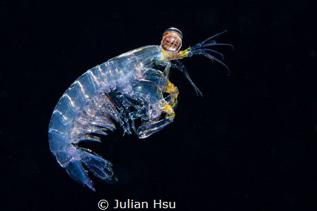 Larval mantis shrimp by Julian Hsu