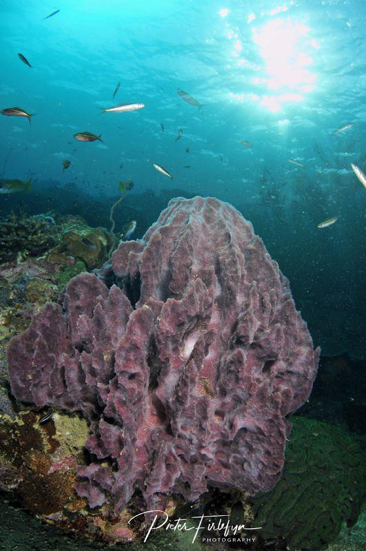 Coral by Pieter Firlefyn