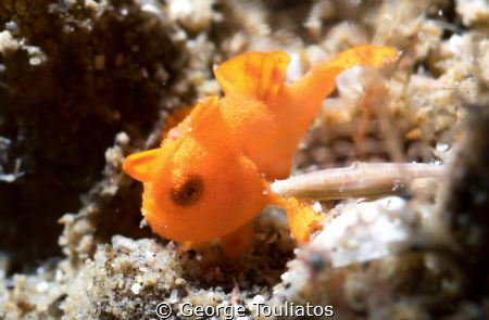 Tiny Frog Fish!!! by George Touliatos
