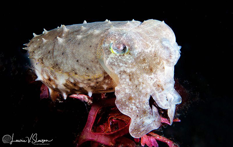 Juvenile Broadclub Cuttlefish/Photographed with a Canon 6... by Laurie Slawson