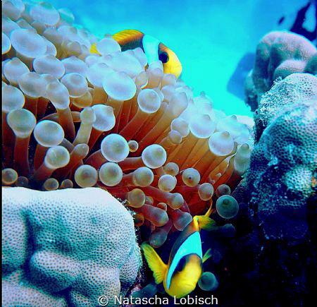 clownfish marsa alam by Natascha Lobisch