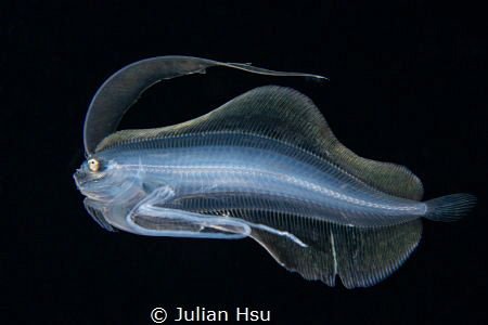 Larval flounder by Julian Hsu