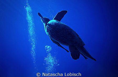 turtle by Natascha Lobisch