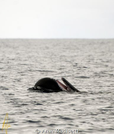 Sperm whale spyhopping and playing at the surface;. by Arun Madisetti