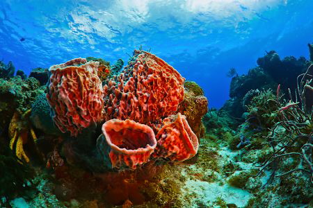 The ancient marine animal is a red sea sponge on the cora... by Sergey Lisitsyn