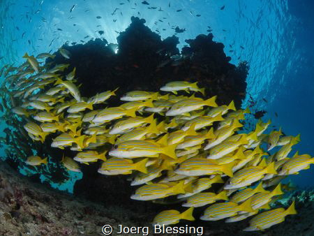 Bluestriped snappers by Joerg Blessing