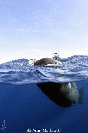 You cannot pass. Sperm whale playfully puts itself betwee... by Arun Madisetti