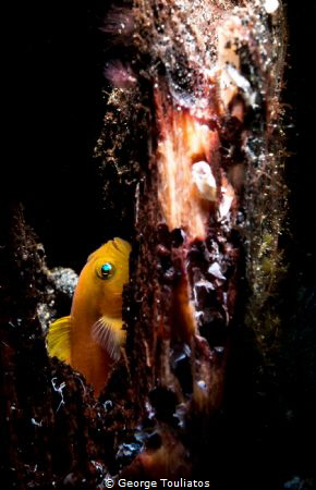 Yellow Gobie!!! by George Touliatos