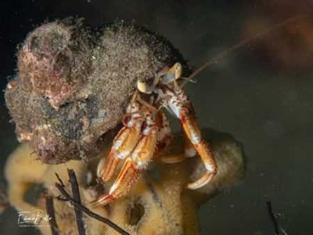 Heremite lobster.. sitting on top of the world by Eduard Bello