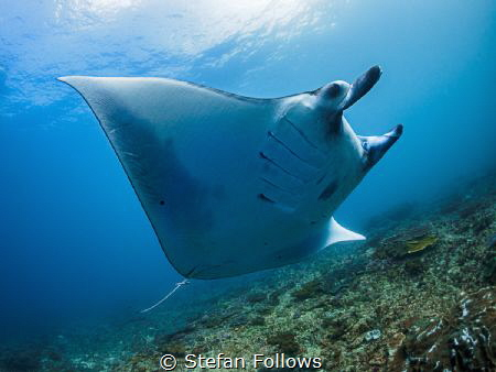 Come fly with me ...  Manta Ray - Mobula alfredi  Man... by Stefan Follows