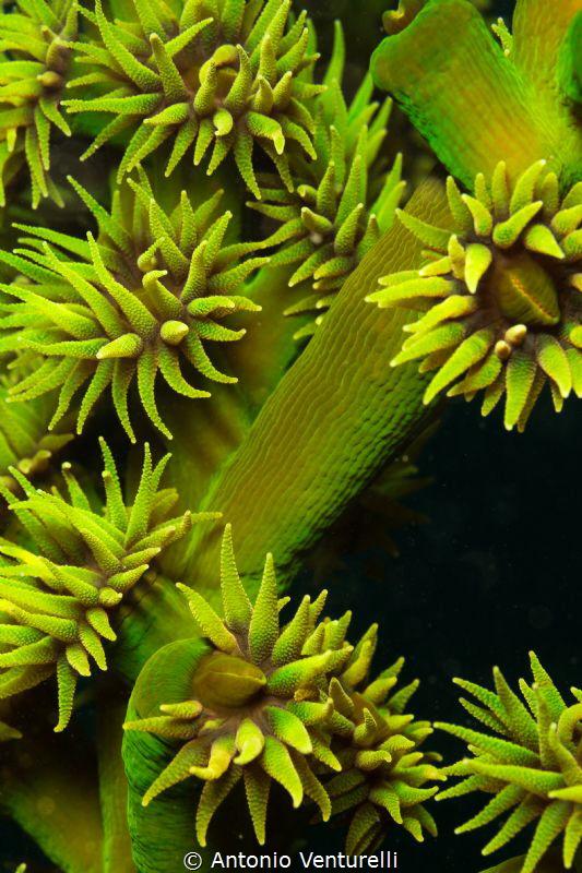green coral,Hon Mun Island ,Vietnam by Antonio Venturelli