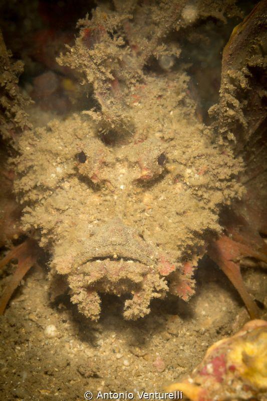 Devil scorpionfish by Antonio Venturelli