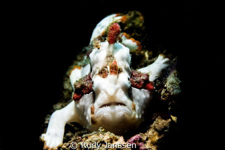 Warty frogfish (Antennarius maculatus) in the light  by Rudy Janssen