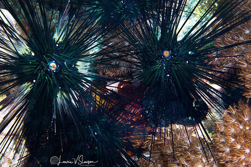 Black Sea Urchins/Photographed with a Canon 60 mm macro l... by Laurie Slawson