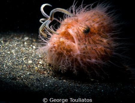 Hairy Frogfish with lure!!! by George Touliatos