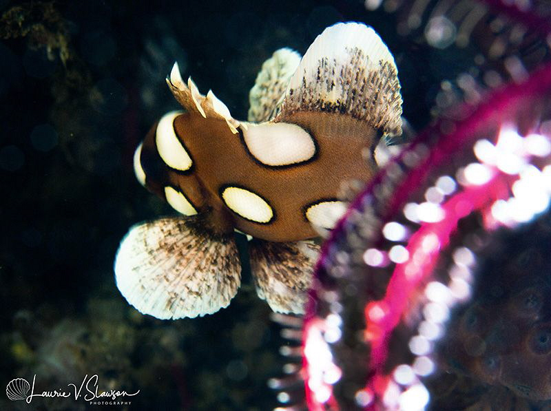 Harlequin Sweetlips/Photographed with a Canon 60 mm macro... by Laurie Slawson
