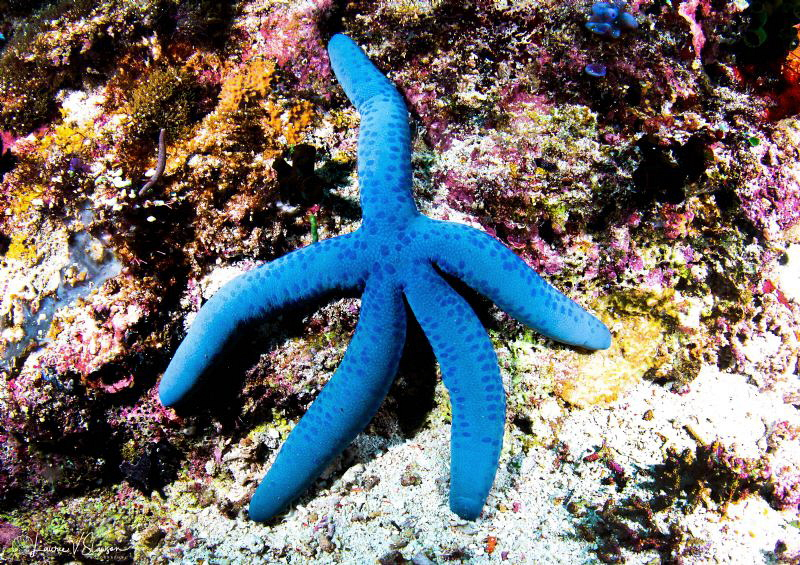 Blue Sea Star/Photographed with a Canon 60 mm macro lens ... by Laurie Slawson
