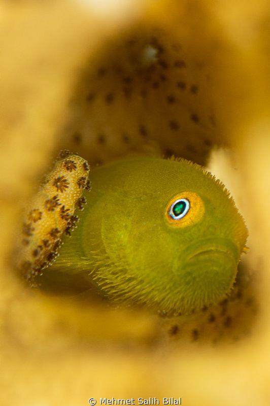 Hairy lemon goby. by Mehmet Salih Bilal