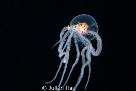 Wonderpus Octopus by Julian Hsu