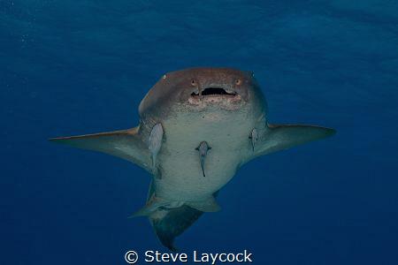 Nurse shark, swimming towards the camera by Steve Laycock