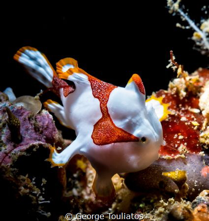 Tiny Frogfish!!! by George Touliatos
