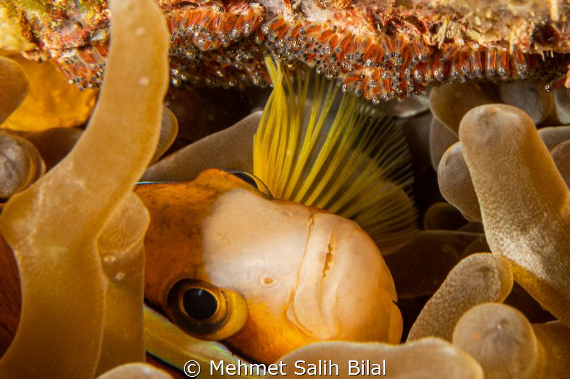 Clownfish is caring her eggs with her pectoral fins. by Mehmet Salih Bilal