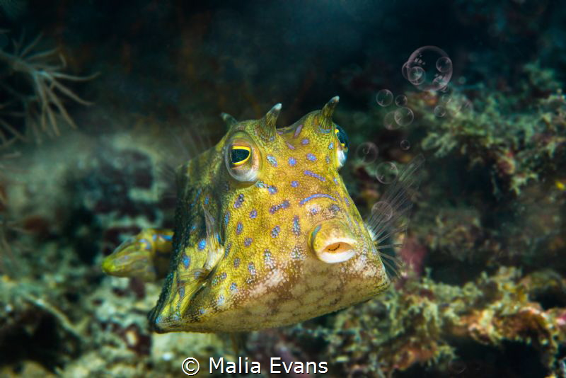Cowfish blowing bubbles.... by Malia Evans