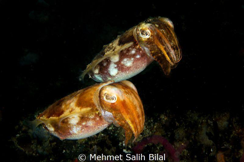 Cute cuttlefish couple. by Mehmet Salih Bilal