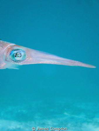 Close up of a Caribbean reef squid by James Compton