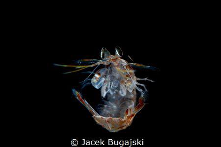 Mantis Shrimp Larval - very late stage. Black Water divin... by Jacek Bugajski