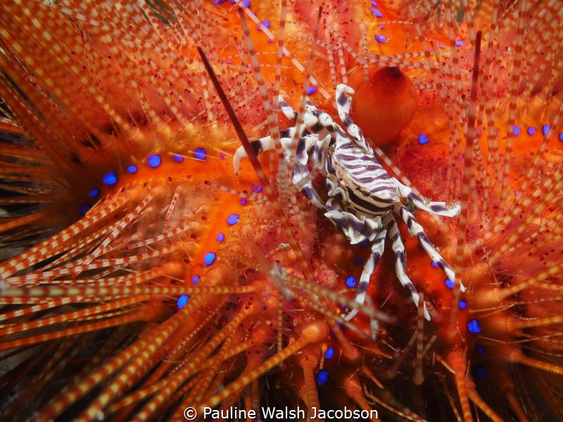 Zebra Crab on Fire Urchin, Lembeh by Pauline Walsh Jacobson