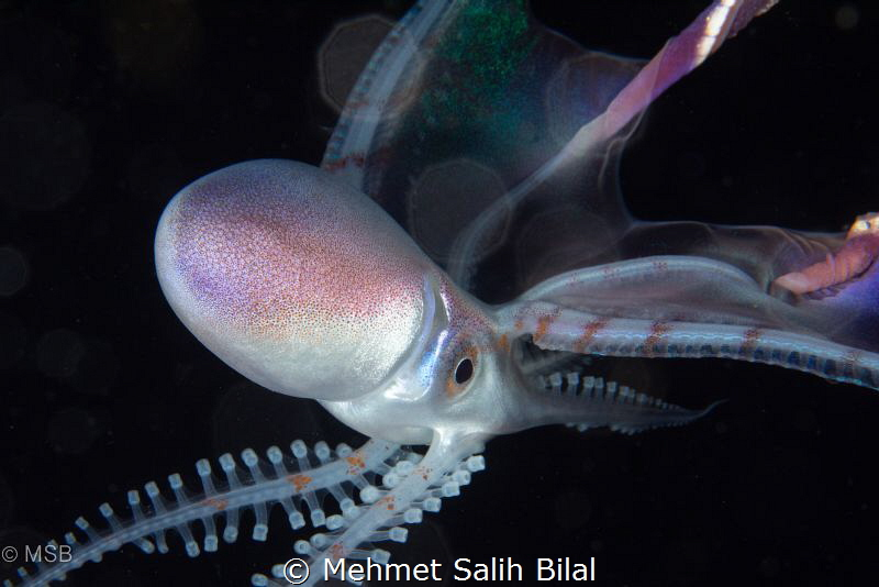 Female blanket octopus. by Mehmet Salih Bilal