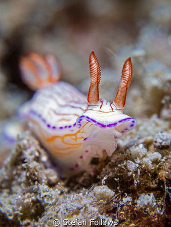 Wild Thing  Nudibranch - Hypselodoris sp.  Samran, Th... by Stefan Follows