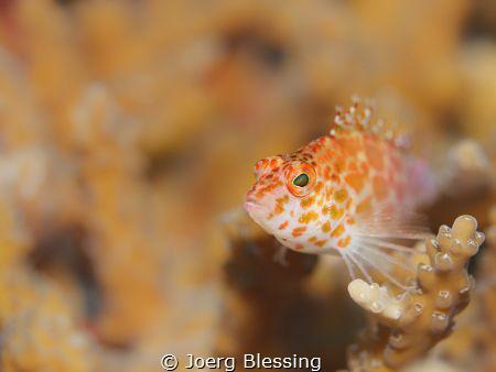 Little hawksfish by Joerg Blessing