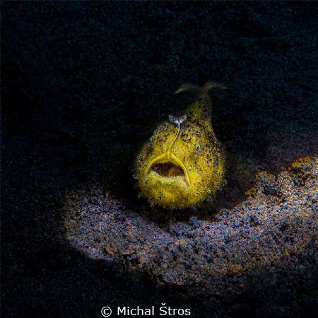 Juvenile yellow frogfish by Michal Štros