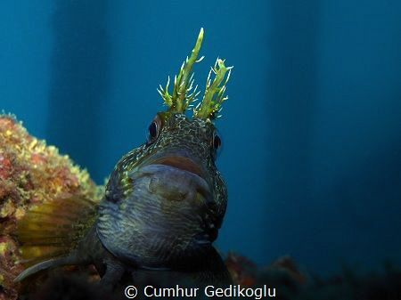 Parablennius gattorugine Happy&curious by Cumhur Gedikoglu