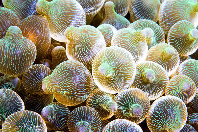 Bubbletip Anemones/Photographed with a Canon 60 mm macro ... by Laurie Slawson