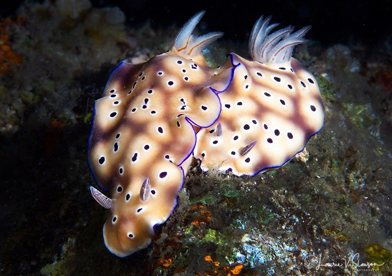 Pair of Hypselodoris tryoni/Photographed with a Canon 60 ... by Laurie Slawson