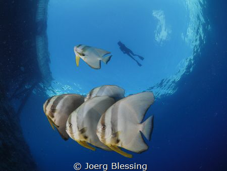 Longfin batfish and snorkler. by Joerg Blessing