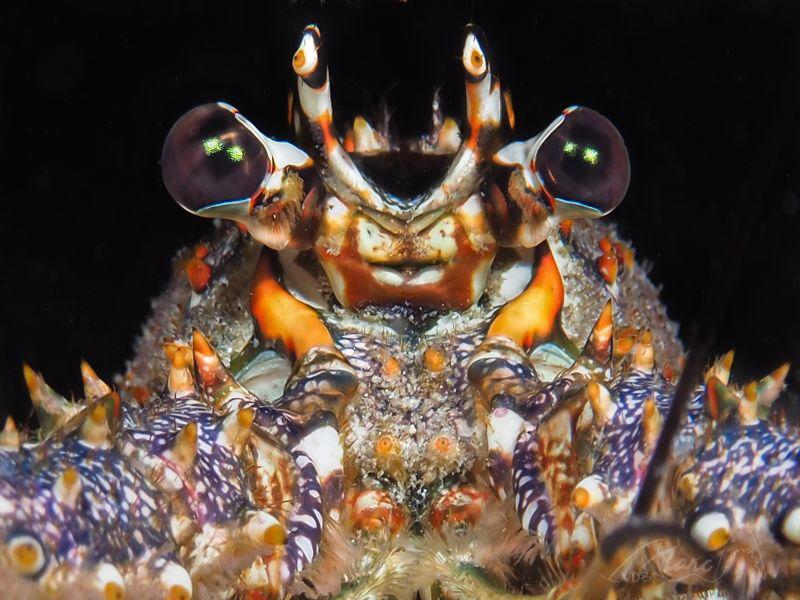 lobsterface by Marc Van Den Broeck