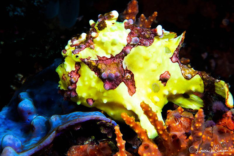 Warty or Painted Frogfish/Photographed with a Canon 60 mm... by Laurie Slawson