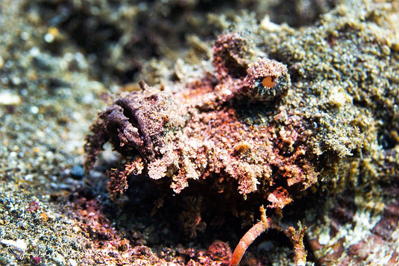 Stonefish/Photographed with a Canon 60 mm macro lens at A... by Laurie Slawson
